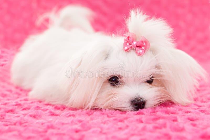 Cão maltês da pedigree fotografia de stock