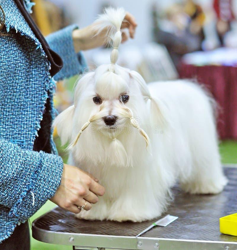 Cão maltês da preparação imagens de stock royalty free