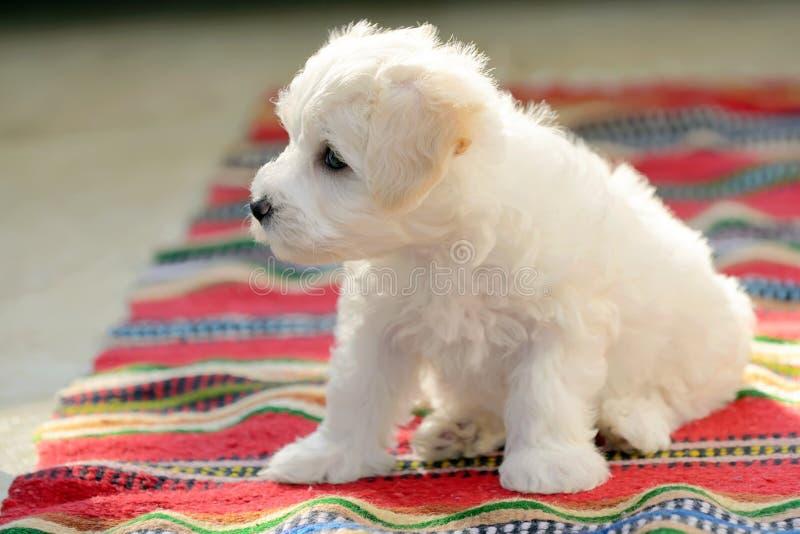 Cão maltês do cachorrinho branco que senta-se no tapete foto de stock