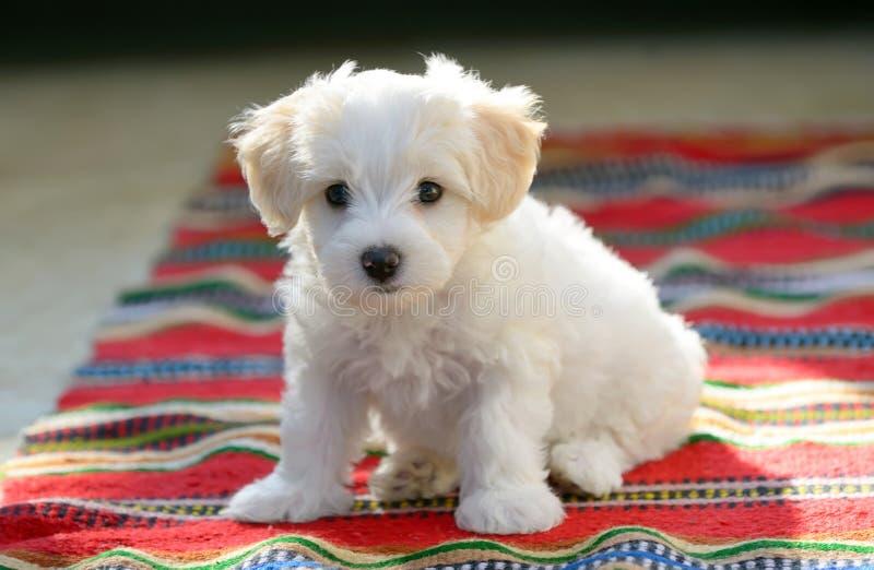 Cão maltês do cachorrinho branco que senta-se no tapete imagem de stock royalty free