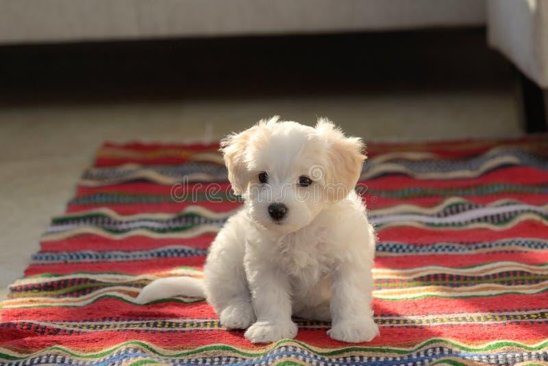Cão maltês do cachorrinho branco que senta-se no tapete fotografia de stock