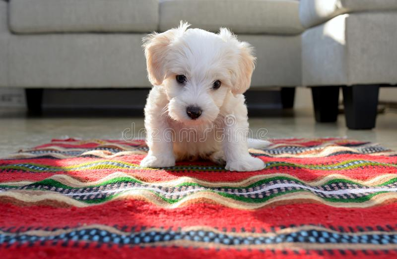 Cão maltês do cachorrinho branco que senta-se no tapete foto de stock royalty free
