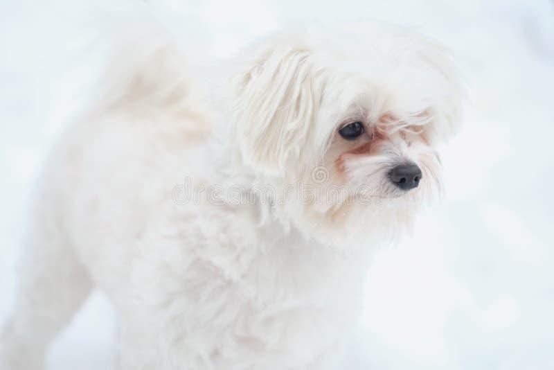 Cão maltês italiano na rua do inverno na neve fotografia de stock royalty free