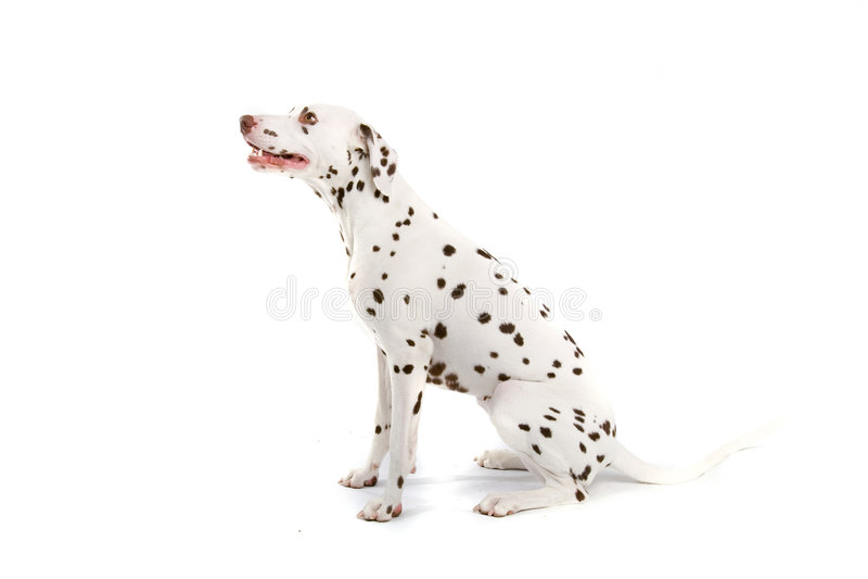 Cão manchado foto de stock royalty free