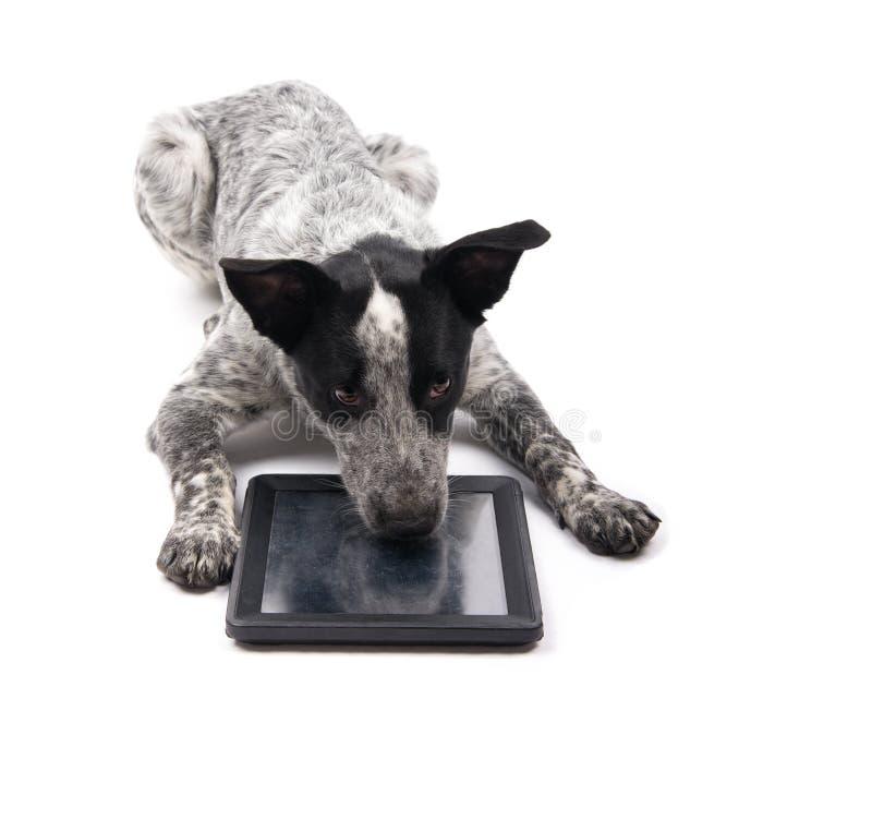 Cão manchado preto e branco que encontra-se para baixo com seu nariz em um tablet pc imagem de stock royalty free