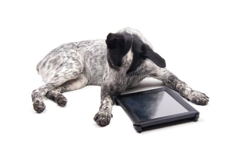 Cão manchado que encontra-se para baixo, olhando uma tabuleta do computador foto de stock royalty free