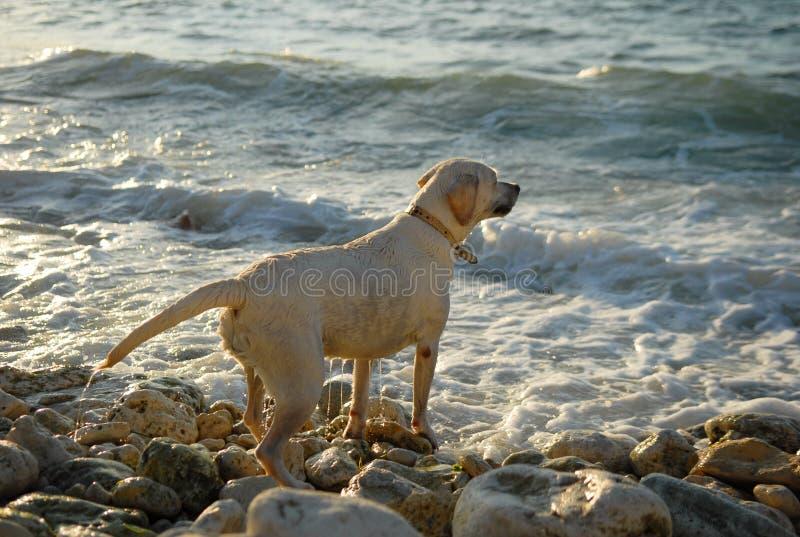 Cão, mar, oceano, Labrador, raça, treinamento, jogo, animal, rocha, amigo imagens de stock royalty free