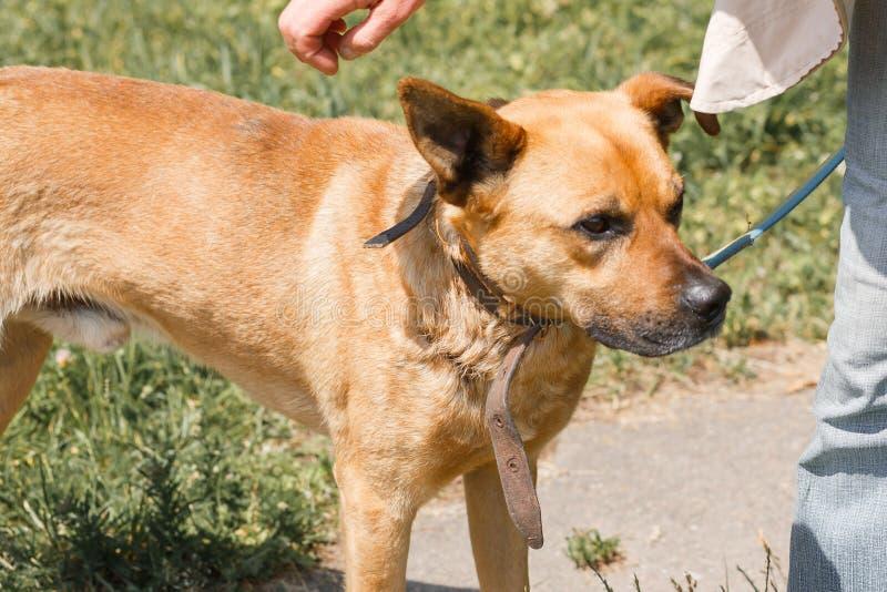 Cão marrom bonito das trocas de carícias da mulher quando em uma caminhada no parque, fêmea foto de stock
