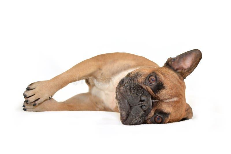 Cão marrom bonito do buldogue francês que encontra-se no lado no fundo branco fotos de stock royalty free