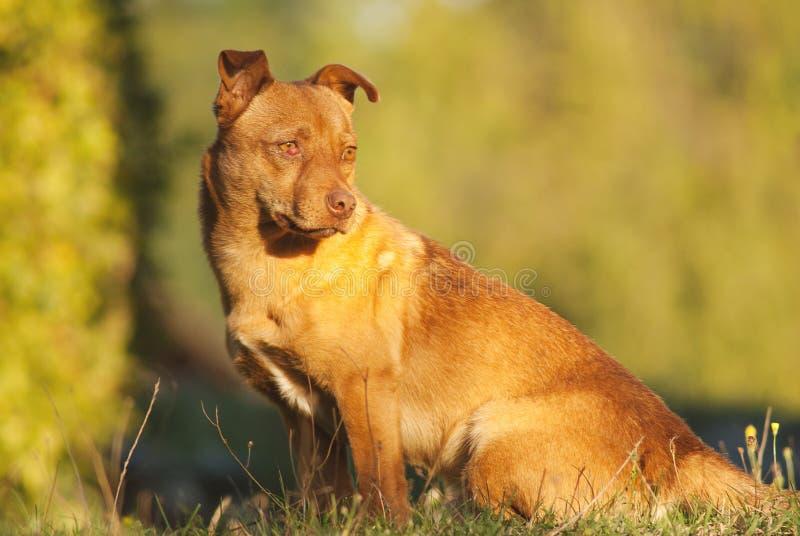 Cão marrom bonito exterior imagens de stock