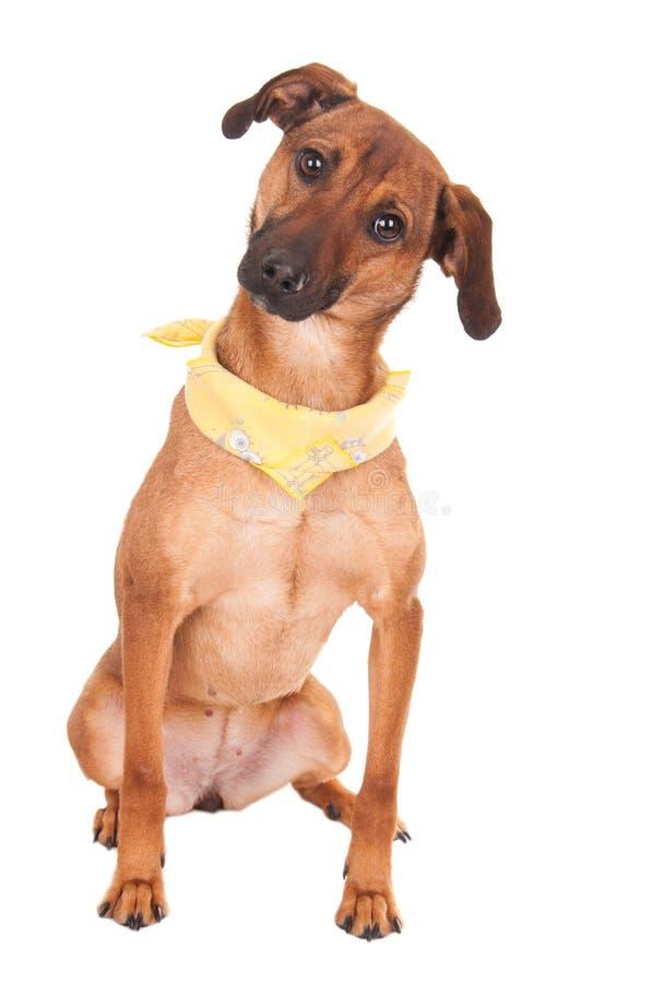 Cão marrom bonito isolado no branco fotos de stock