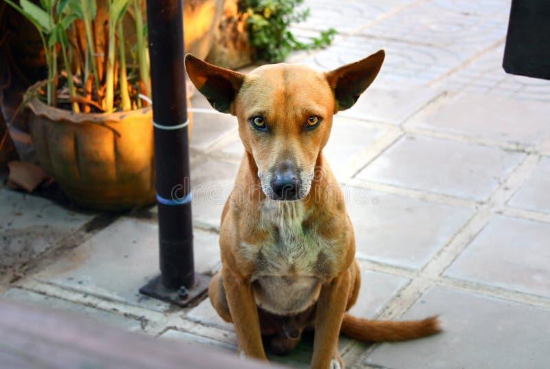 Cão marrom bonito que olha a câmera fotos de stock