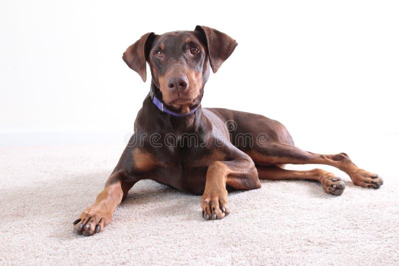 Cão marrom do doberman do retrato fotografia de stock royalty free