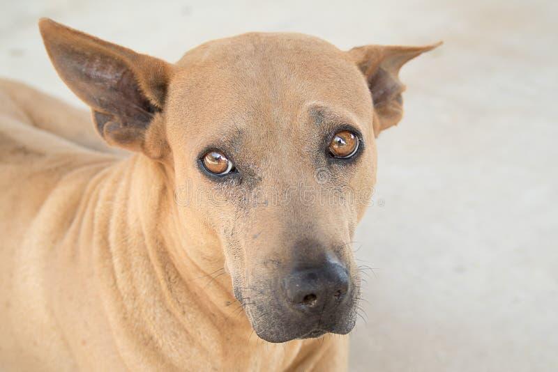 Cão marrom tailandês Cão primitivo tailandês imagens de stock