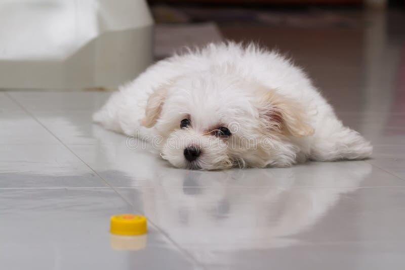 Cão minúsculo da raça do cachorrinho do tzu de Shih fotografia de stock