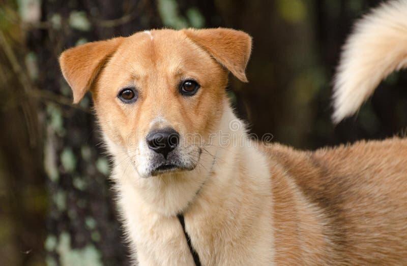 Cão misturado Akita amarelo da raça do pastor de Labrador fotografia de stock royalty free