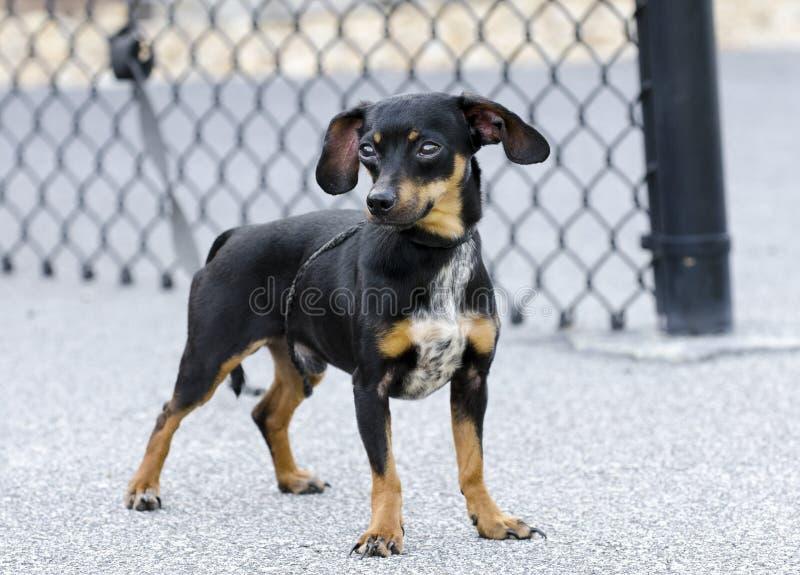 Cão misturado bassê da raça da chihuahua de Chiweenie imagem de stock royalty free