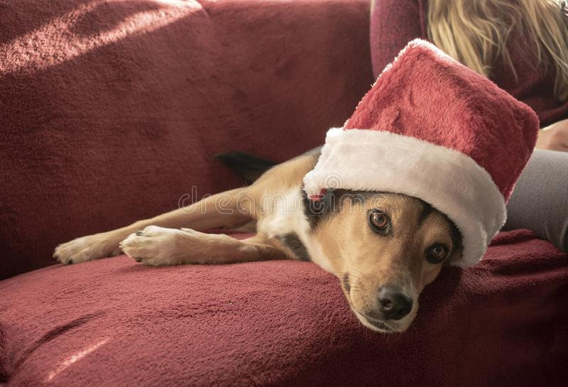 Cão misturado bonito da raça com chapéu de Santa fotografia de stock