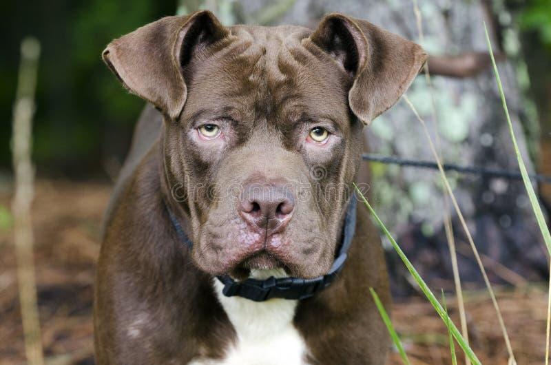Cão misturado buldogue da raça de Dogue de Bordéus fotografia de stock