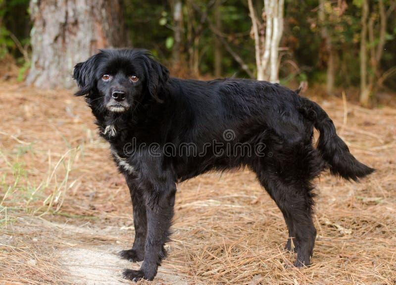 Cão misturado cocker spaniel preto da raça do perdigueiro fotografia de stock