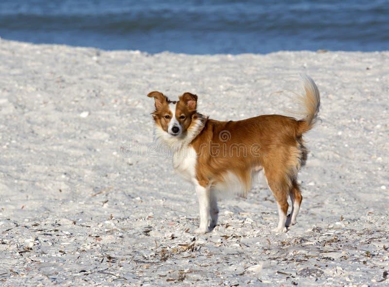 Cão misturado Collie Papillon da raça de Sheltie.