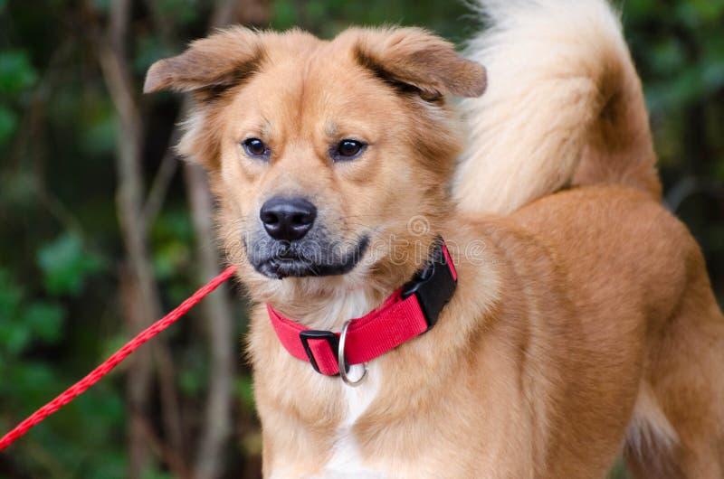 Cão misturado comida da raça do golden retriever imagens de stock
