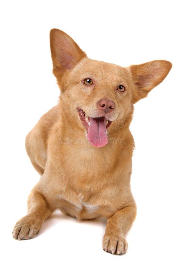 Cão misturado da raça imagem de stock