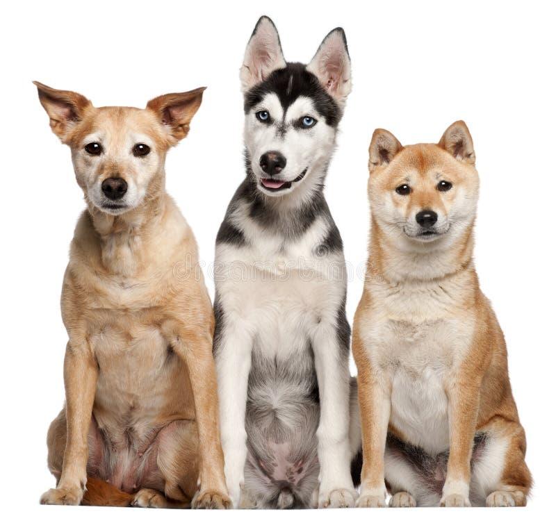 Cão misturado da raça, 9 anos velho, Shiba Inu fotografia de stock