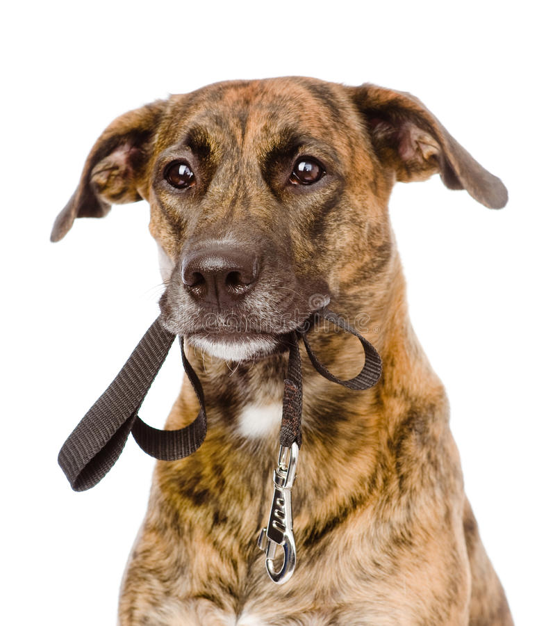 Cão misturado da raça com uma trela em sua boca Isolado no branco fotografia de stock