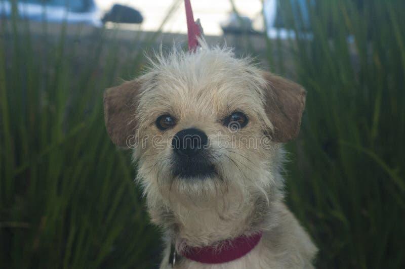 Cão misturado pequeno da raça do terrier branco e bronzeado fotos de stock royalty free
