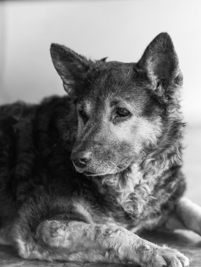 Cão misturado tailandês da raça imagem de stock royalty free