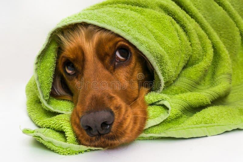 Cão molhado após o banho com uma toalha verde fotografia de stock royalty free