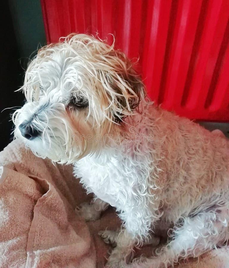 Cão molhado após o tempo do banho imagens de stock royalty free