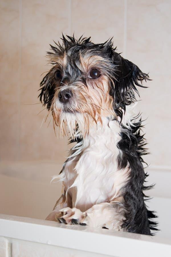 Cão molhado pequeno do filho do baby-boom na banheira fotos de stock
