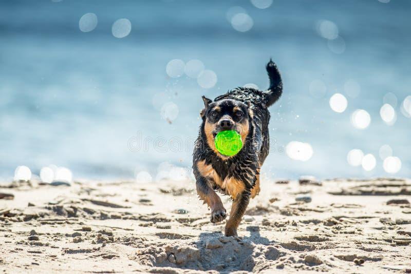 Cão molhado que corre com bola imagens de stock royalty free