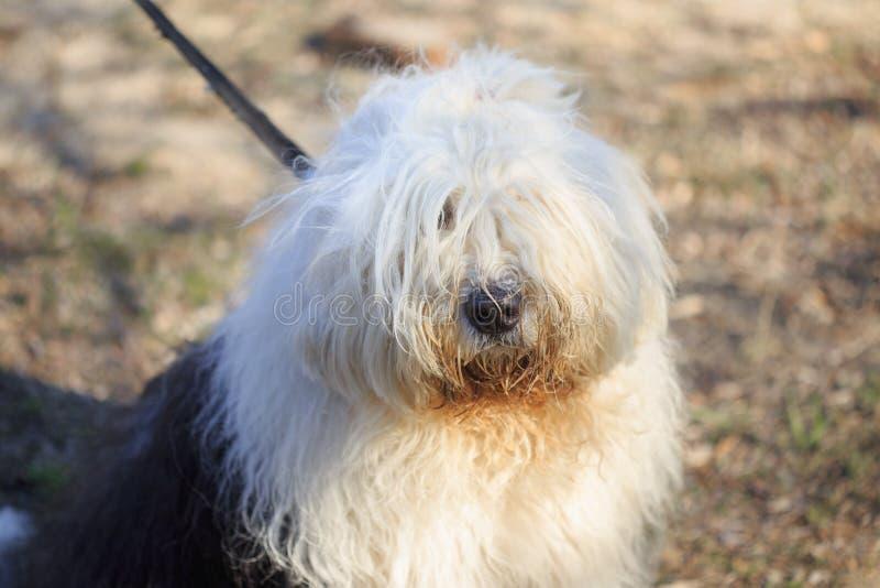 Cão muito desgrenhado, fiel, amável muito grande do serviço foto de stock royalty free