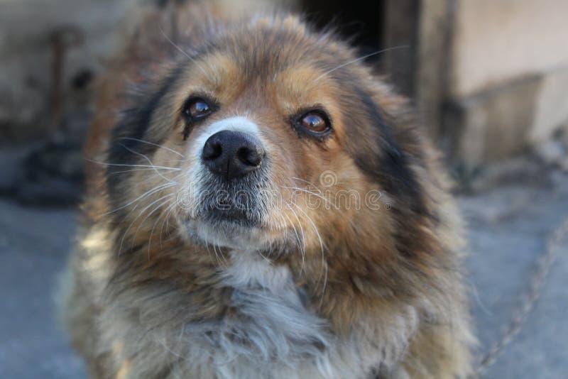 Cão multibred gengibre foto de stock