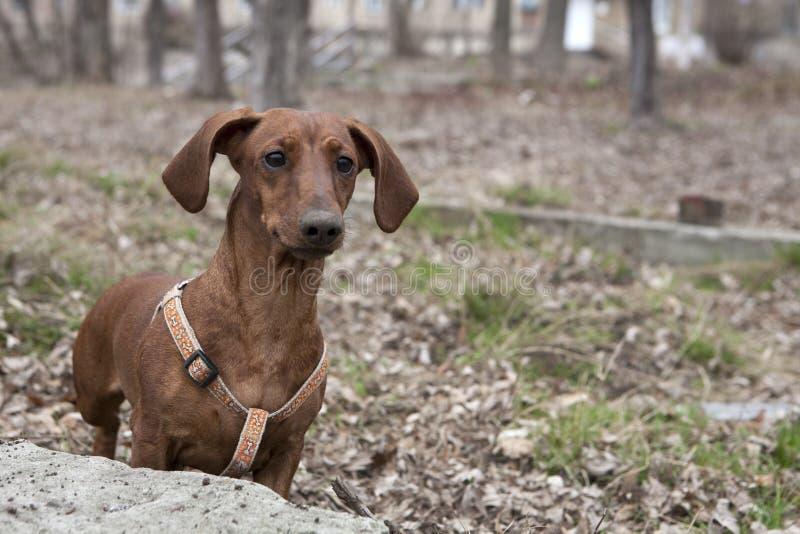 Cão na caminhada imagens de stock