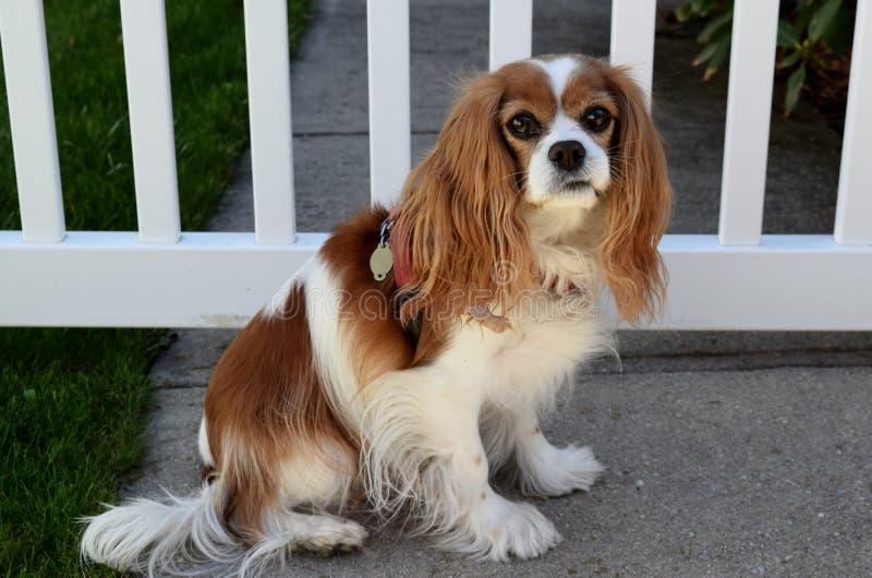 Cão na cerca de piquete fotos de stock royalty free