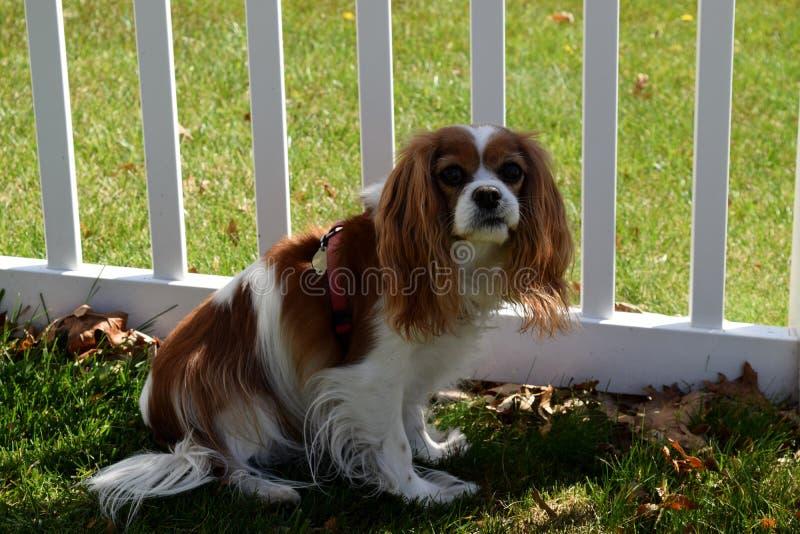 Cão na cerca de piquete fotografia de stock