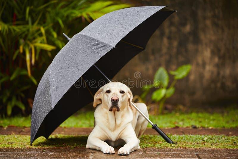 Cão na chuva fotos de stock royalty free