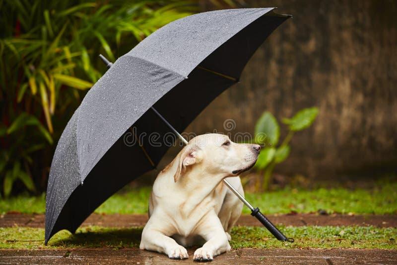 Cão na chuva fotografia de stock royalty free