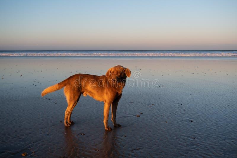 Cão na costa de Sidi Kaouki, Marrocos, África Tempo do por do sol de Marrocos cidade da ressaca maravilhosamente imagens de stock