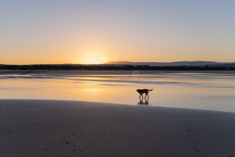 Cão na costa de Sidi Kaouki, Marrocos, África Tempo do por do sol de Marrocos cidade da ressaca maravilhosamente fotografia de stock royalty free