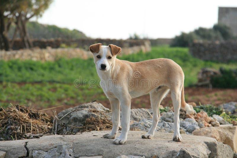 Cão na exploração agrícola fotografia de stock