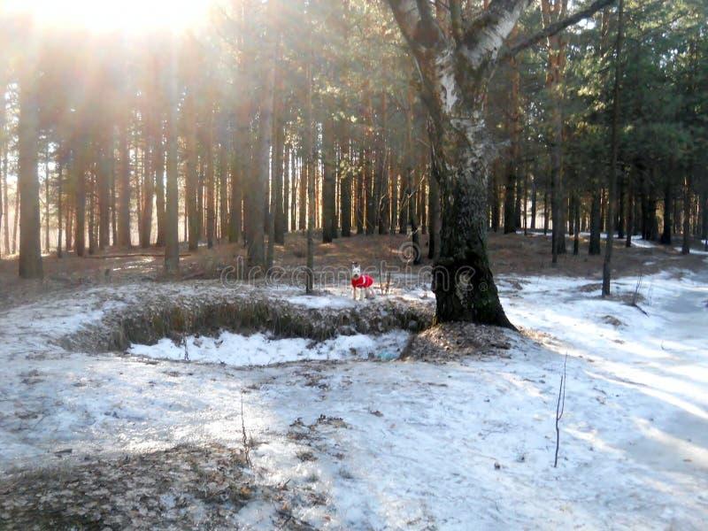 Cão na floresta na mola adiantada imagem de stock