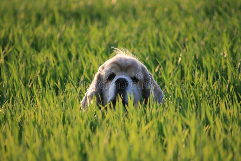 Cão na grama fotografia de stock
