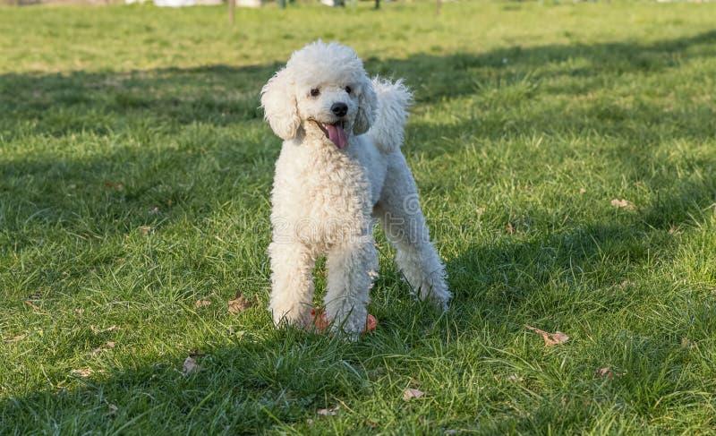 Cão na grama imagem de stock