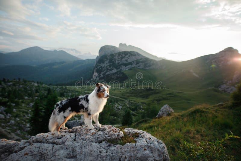 Cão na montanha no por do sol Viagem com um animal de estima??o Pastor australiano na natureza foto de stock