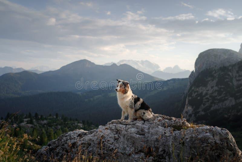 Cão na montanha no por do sol Viagem com um animal de estima??o Pastor australiano na natureza fotos de stock